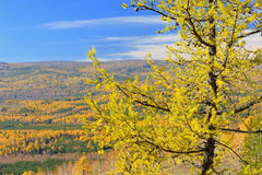 Larch in the Ural Mountains. Larch against the Ural Mountains Royalty Free Stock Photography
