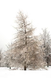 Larch in winter Stock Image