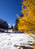 Larch. Winter view Stock Image