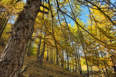 Larch woods Stock Photography