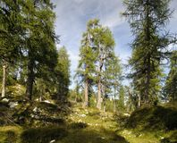 Larch woods In Julian Alps in Slovenia Royalty Free Stock Photo