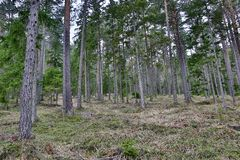 Larch Woods. This photo shows a larch forest in Austria Stock Images