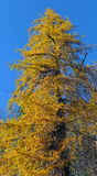 Larch yellow Stock Image
