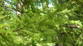Larch. Royalty Free Stock Image