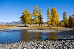 Larches Stock Images