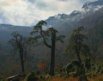 Larches. Big larches near Annapurna peak, Nepal Stock Photos