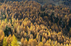 Larches in autumn (North Italy) Stock Image