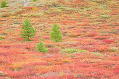 Larches in autumnal mountain tundra Royalty Free Stock Photography