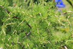 Larches are conifers in genus Larix Royalty Free Stock Images