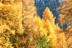 Larches in the Fall Royalty Free Stock Photo