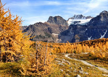 Larches in Fall Royalty Free Stock Photography