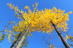 Larches in the fall Stock Image
