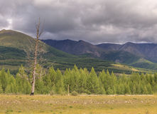 Larches in a mountain valley. East Sayan mountains. Royalty Free Stock Photography
