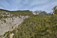 Larchs on Mountain. This photo shows a landscape with many larchs in Austria Royalty Free Stock Image