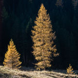 3 larchs Royalty Free Stock Photography