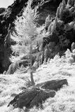 Larchtree   Monochrome. Trees on the mountainside taken in infrared monochrome mode black and white Stock Photo