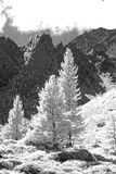 Larchtree   Monochrome. Trees on the mountainside taken in infrared monochrome mode black and white Stock Photography