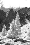 Larchtree monokrom Arkivbild