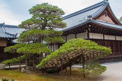 Larege Bonsai Tree. A large bonsai tree in front of a shrine near the Golden Pavilion in Kyoto, Japan Royalty Free Stock Image