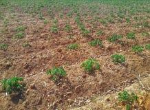 Larg cassava farm Royalty Free Stock Images
