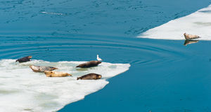 Larga Seals Resting On Floating Ice Stock Image