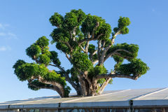Large acacia koa tree growing in roof royalty free stock photos