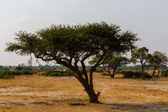 Large Acacia tree in the open savanna plains Africa Royalty Free Stock Images