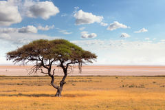 Large Acacia tree in the open savanna plains Africa Stock Image