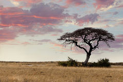 Large Acacia tree in the open savanna plains Africa Royalty Free Stock Photos