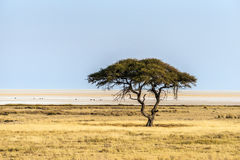 Large Acacia tree in the open savanna plains of Etosha national park. Near Salvadora waterhole. Namibia, Africa Stock Photo