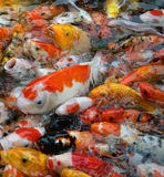 Large accumulation of multicolored decorative Koi carps in the p Royalty Free Stock Image