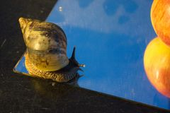 Giant snail on a mirror with Mandarin stock images
