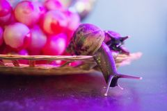 A pair of snails on a wicker plate with grapes royalty free stock image