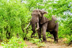A large adult African Elephant eating leafs from Mopane Trees in a forest near Letaba in Kruger National Park Stock Images