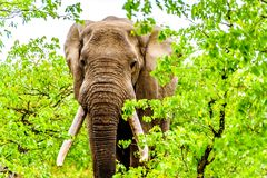 A large adult African Elephant eating leafs from Mopane Trees in a forest near Letaba in Kruger National Park Stock Photos