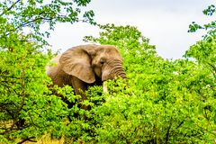 A large adult African Elephant eating leafs from Mopane Trees in a forest near Letaba in Kruger National Park Royalty Free Stock Photos