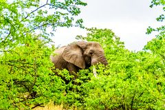 A large adult African Elephant eating leafs from Mopane Trees in a forest near Letaba in Kruger National Park Stock Photography