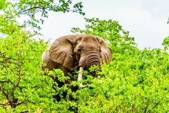 A large adult African Elephant eating leafs from Mopane Trees in a forest near Letaba in Kruger National Park Royalty Free Stock Image