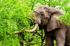 A large adult African Elephant eating leafs from Mopane Trees in a forest near Letaba in Kruger National Park Stock Photo