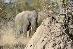 African Elephant in South African game reserve royalty free stock photos