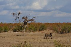 Large adult African elephant roaming in a dry plain in South Africa. stock images
