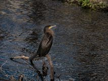 Black Cormorant bird portrait, standing on log in river royalty free stock images