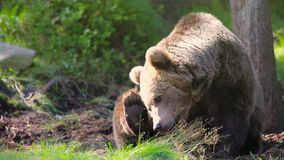 Large adult brown bear relaxing and scratching in the forest stock video footage