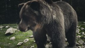 Large adult brown bear rests, close up view. Brown bear Ursus arctos in the forest meadow. Close up view of wild big male brown bear joyful looking around. Funny stock footage