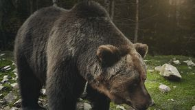 Large adult brown bear rests, close up view. Brown bear Ursus arctos in the forest meadow. Close up view of wild big male brown bear in soft morning sun light stock video footage