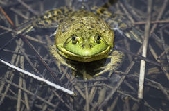 Large adult bullfrog in a refuge pond. Stock Photos
