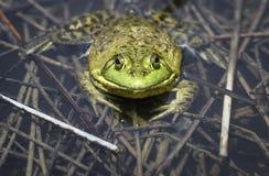 Large adult bullfrog in a refuge pond. Stock Photos