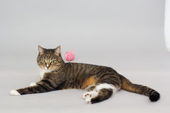 Large adult greeneyed tabby cat  on grey Royalty Free Stock Photos