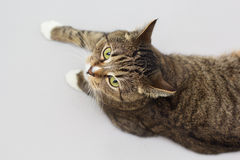 Large adult greeneyed tabby cat  on grey Royalty Free Stock Photo