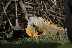Large Adult Green Iguana Displaying Dewlap in south Florida with Orange Coloring. This large adult iguana in full display is a possible male with orange coloring royalty free stock photos